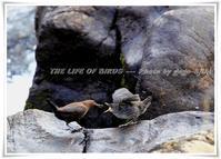 カワガラスは、餌の水生昆虫が最も増える時期にヒナの孵化を合わせる - THE LIFE OF BIRDS ー 野鳥つれづれ記