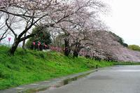 桜巡り・藤枝各所 - 暮らしの中で