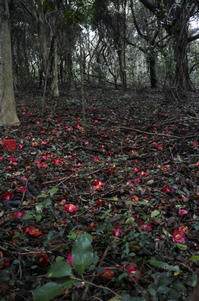 椿の落ち花。 - gen-design-blog