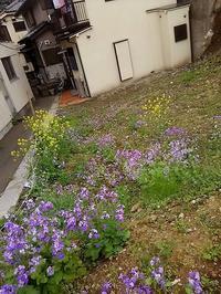 """板橋区空地にて""""ムラサキハナナ""""がいっぱい! - 健気に育つ植物たち"""