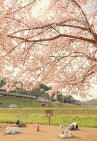 牧駅の桜 - 今日も丹後鉄道