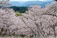 晴間の桜 かな - kenihの部屋 (流浪する魂)