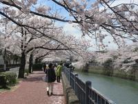 大岡川の桜 - 光さんの日常