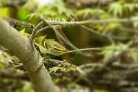 珍鳥 - 趣味の野鳥撮影