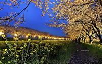 草場川ライトアップ - A  B  C