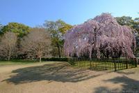 京のさくら2017京都御苑出水の糸桜 - ぴんぼけふぉとぶろぐ2