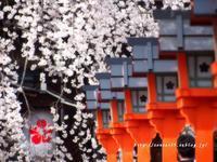 平野神社の桜 - 京・街・さんぽ