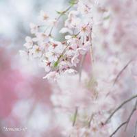 原谷苑の桜〜1〜 - *PHOTOMOMIN*