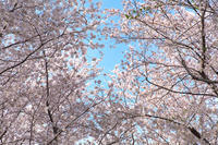 まだまだお花見・野川公園へ 2017年4月12日 - 暗 箱 夜 話 【弐 號】