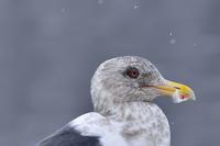 """オオセグロカモメ(大背黒鴎)/Slaty-backed gull - 「生き物たちに乾杯」 第3巻 """"A Toast to Wildlife!"""" vol. 3"""