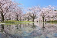 桜記2017【2】新潟市・白山公園の桜 - 球のブログ跡地(移転作業中)