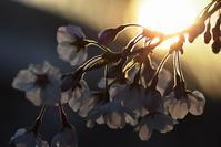 ヴェルニー公園の桜3 - 素顔のままで