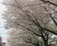 2017、櫻、咲く。-拾参:散りそめ… - デハ712のデジカメ日記2017