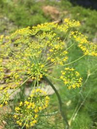 herb:ディル Anethum graveolens - 英国メディカルハーバリスト