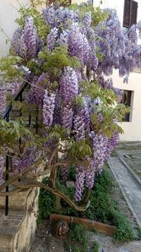 藤降り香り満つる庭、イタリア - イタリア写真草子 Fotoblog da Perugia