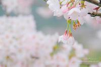 Sakugi便り**SakuraDiary番外編 - きまぐれ*風音・・kanon・・