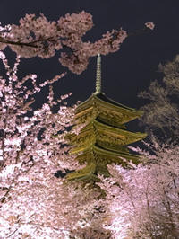東寺の桜のライトアップすてきっ! - むつずかん