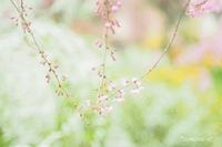 原谷苑の桜〜2〜 - *PHOTOMOMIN*