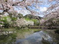 今年の鎌倉の桜(2017年) - 福井良佑の水彩画  Watercolor Terrace