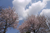 CROSSE桜だより⑤2017満開の日に - CROSSE 便り