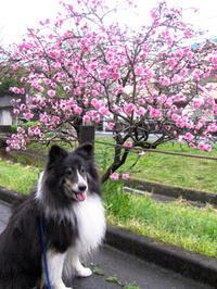 曇天のお花見散歩 - にゃんてワンダホー!