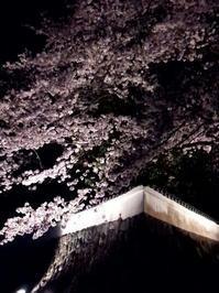桜の季節(さらに夜桜編) - A DAY IN THE LIFE/猫屋敷の日常