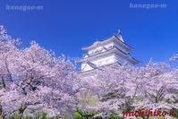 満開の桜と小田原城 - 風景写真家 鐘ヶ江道彦のフォトブログ