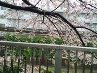 雨でも・・・ソメイヨシノ - takatakaの日記