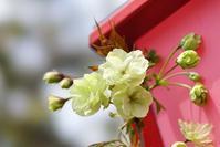 造幣局の桜の通り抜け@2017-04-13 - (新)トラちゃん&ちー・明日葉 観察日記