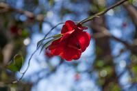 椿は息が長い - 彩りの軌跡