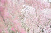 原谷苑の桜〜3〜 - *PHOTOMOMIN*