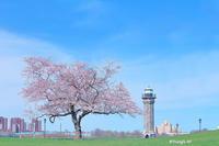 北の1本桜2017 - Triangle NY