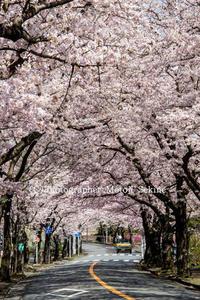 サニーとサラの日常2017桜満開伊豆高原 - 山麓風景と編み物