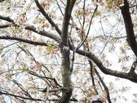 浅川、桜にコゲラ - 浅川野鳥散歩