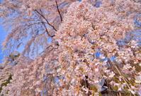 日本の春は桜の国1 - 天野主税写遊館