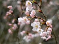 オクヤマガーデンも桜の季節に・・・レッツノート - 朽木小川より 「itiのデジカメ日記」 高島市の奥山・針畑からフォトエッセイ