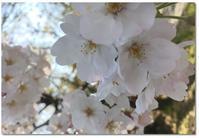 夙川へお花見~♪@西宮 - ☆Sweets diary☆Ⅱ
