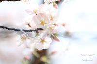 桜 - *teruteru noto*