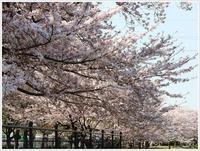 さくらと大と大分の桜を楽しみましたその2お友だち編 - さくらおばちゃんの趣味悠遊