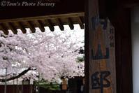 富山散歩~県東部384~内山邸で観桜 - Tomの一人旅~気のむくまま、足のむくまま~