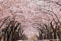 sakura_2017 - Shin2 Limited