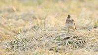 ヒバリ - 北の野鳥たち