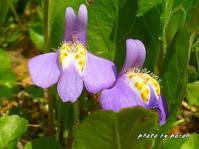 公園各所で「ムラサキサギゴケ」の花が咲きだしています。 - デジカメ散歩悠々