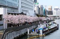 4月13日造幣局通り抜け - ドックの写真掲示板 Doc's photo