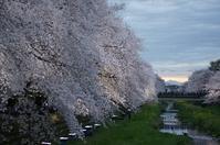 一夜限りのお楽しみ☆野川の桜ライトアップ - さんじゃらっと☆blog2