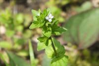 ■小さな花 3種17.4.16(タチイヌノフグリ、ハナイバナ、キュウリグサ) - 舞岡公園の自然2