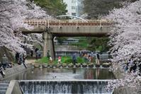 藤田八束の鉄道写真@桜からの贈り物、人々の喜びの声・・・桜と鉄道写真、夙川の桜 - 藤田八束の日記