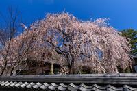 京都の桜2017 本満寺の一本桜 - 花景色-K.W.C. PhotoBlog