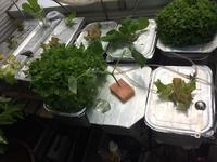 ひさびさの全貌、大葉播種、キュウリ定植 - 3F garden(屋根付屋外水耕)