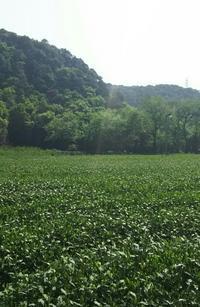 梅家塢龍井の茶畑を通って - お茶をどうぞ♪
